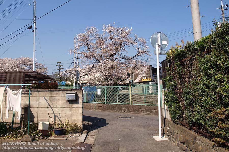 P4110396_sakura
