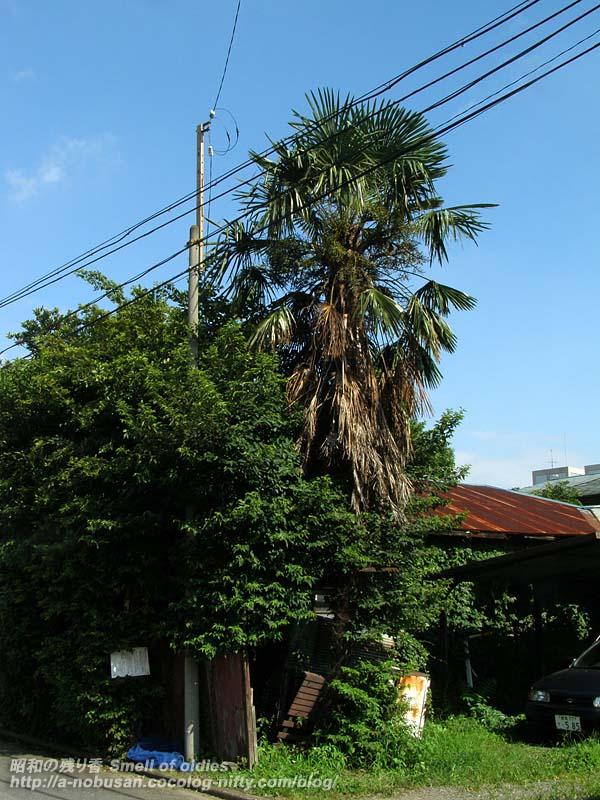 P8040114_palm_tree