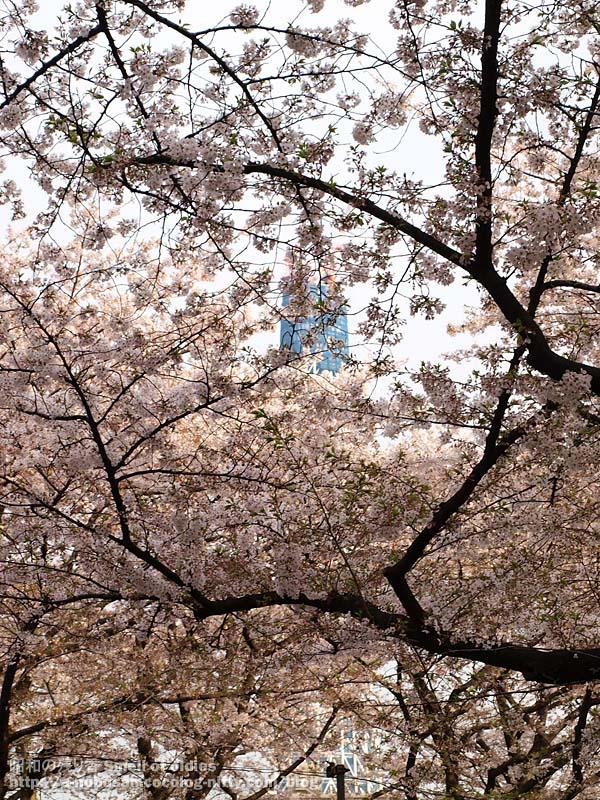P4090422_cherry_blossom