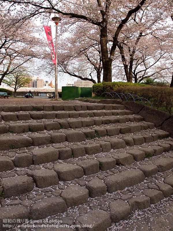 P4090427_sakura_chiru