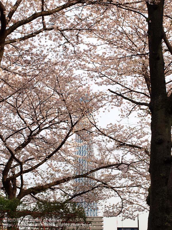 P4090477_cherry_blossom