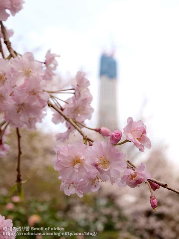 P4090671_cherry_blossom