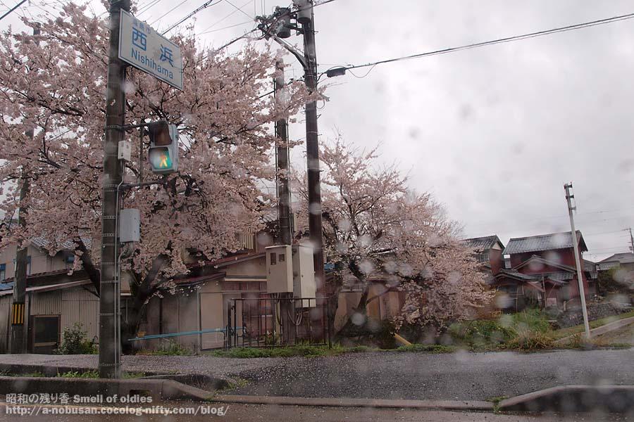 P4120414_nishihama_sakura