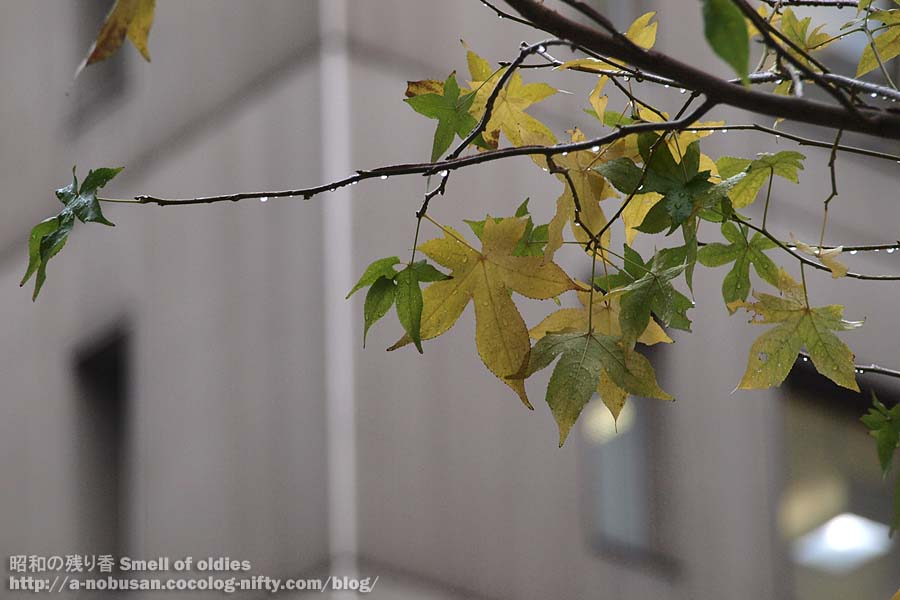 Pc144538_rain_maple