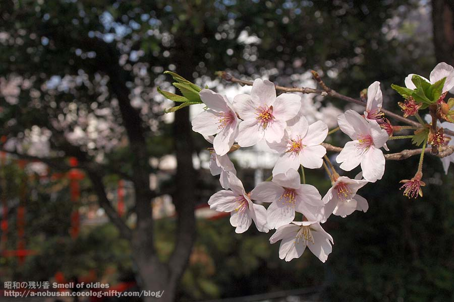 P4100563_sakura_jinjya