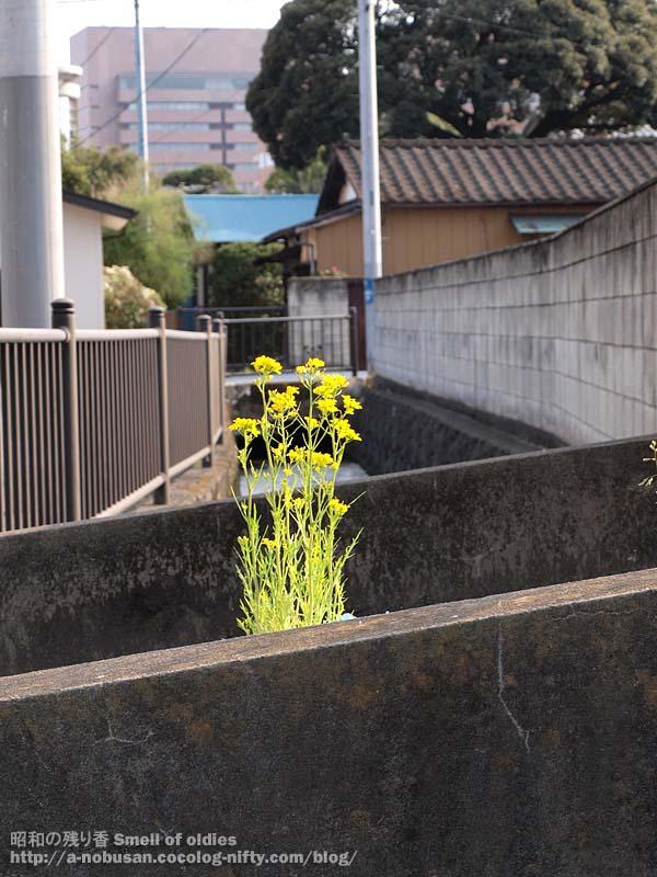 P4100678_mizuna_hana
