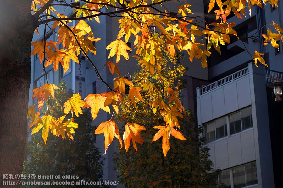 Pc120148_maple_leaf_morning