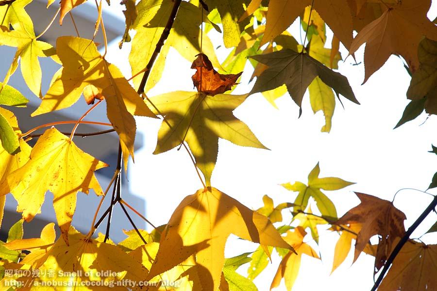 Pc120264_maple_lear_sunshine