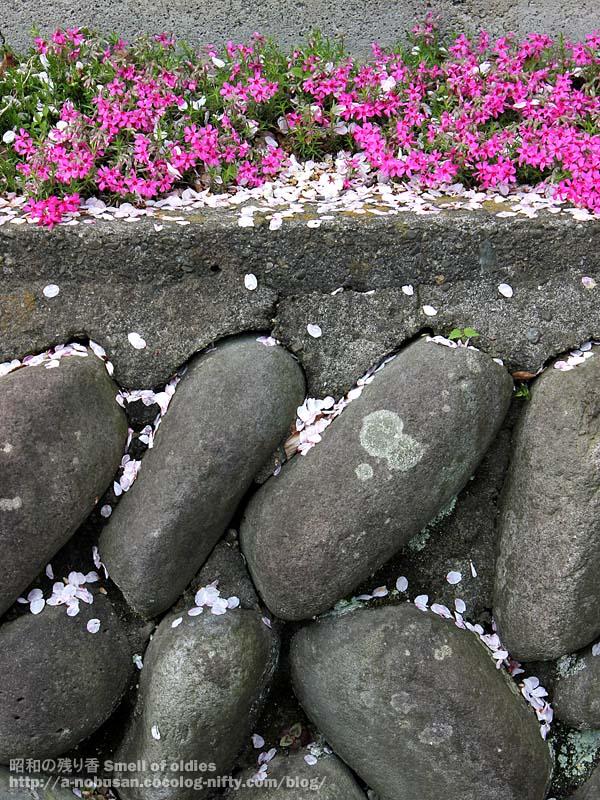 Img_6268_ishigaki_sakura