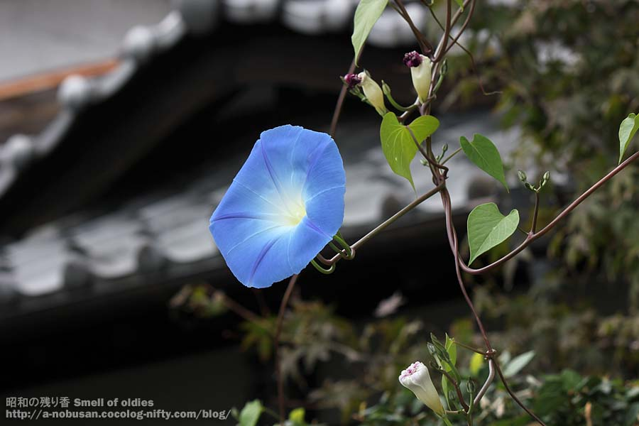 Img_0035_blue_asagao_japan