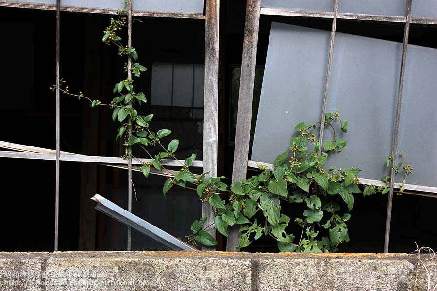 Img_0171_dilapidated_house_ivy