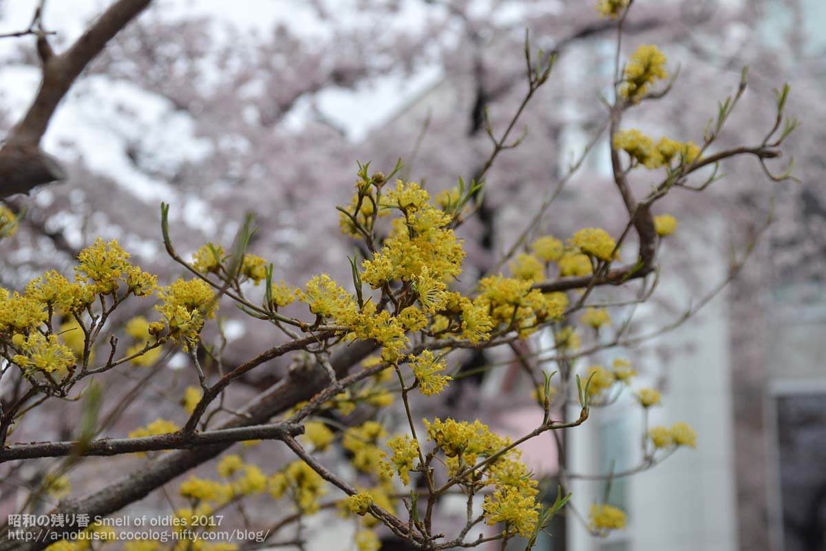 Dsc_0121_yellow_flower_and_sakura