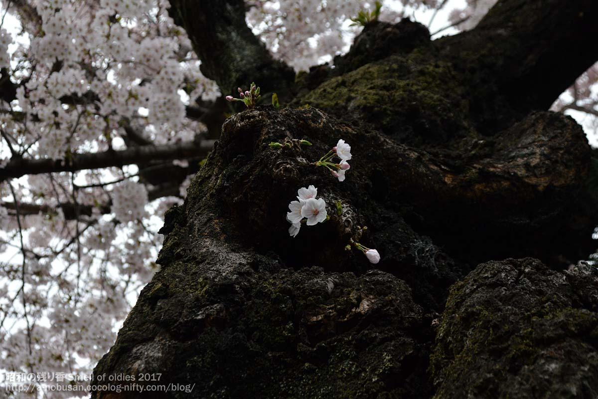 Dsc_0308_maebashi_sakura